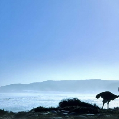 Ostrich, Cape Peninsula, South Africa