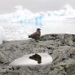 Skua bird, Antarctica