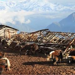 Yaks, Chopra Ridge, Nepal