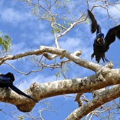 Hyacinth Macaw, Pantanal, Brazil