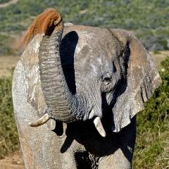 Elephant, South Africa