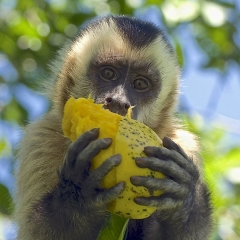 Capuchin Monkey, Pantanal, Brazil