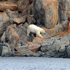 Polar Bear, Torngat Mountains, Labrador