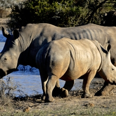 Rhinoceros, South Africa