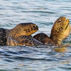 Mating Turtles, Wilson Island, Australia