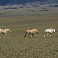 Wild Horse, Gobi, Mongolia