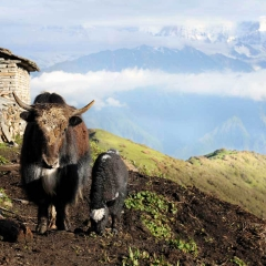 Yaks, Khopra Ridge 4,000m, Nepal